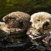 Two Captive Sea Otters Floating Back Poster