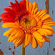 Two Color Gerbera Daisy Poster