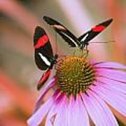 Two Colorful Butterflies On Cone Flower Poster