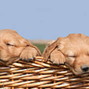 Two Cute Puppies Asleep In Basket Poster