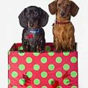 Two Dachshund Puppies Inside A Polka Poster