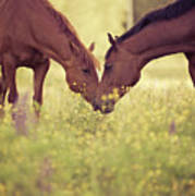 Two Horses In Field Poster
