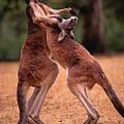 Two Kangaroos Appear To Be Dancing Poster