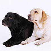 Two Labs Poster