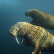 Two Pacific Walruses Swim Together Poster