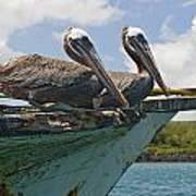 Two Pelicans Pelecanus Occidentalis On Poster