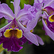 Two Pink Purple Orchids Poster