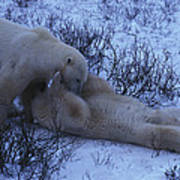 Two Polar Bears Wrestle In The Snow Poster
