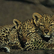 Two Sleepy Four-month-old Leopard Cubs Poster
