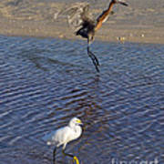 Two Strutting Egrets Poster