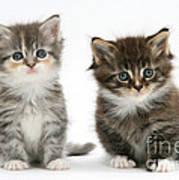 Two Tabby Kittens Poster