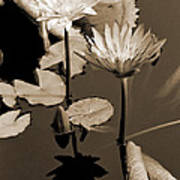 Two Waterlilies Sepia Poster