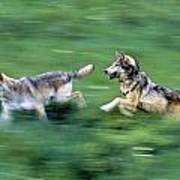 Two Wolves Running Through Meadow Poster