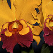 Two Yellow And Red Orchids Poster