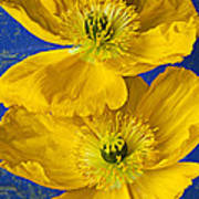 Two Yellow Iceland Poppies Poster