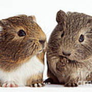 Two Young Guinea Pigs Poster