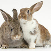 Two Young Rabbits Poster