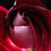 Unfolding Rose Poster