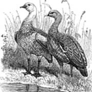 Upland Geese Poster