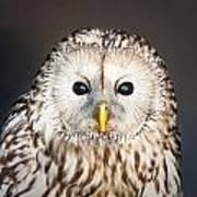 Ural Owl Poster by Tom Gowanlock