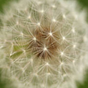 Usa, Pennsylvania, Close-up View Of Dandelion Poster