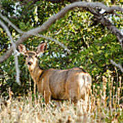 Utah Mule Deer Poster