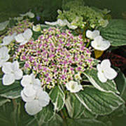 Variegated Lace Cap Hydrangea - Pink And White Poster
