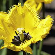 Venus Flytrap Tulip Poster