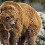 Very Big Bear Poster