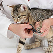 Vet Clipping Kittens Claws Poster