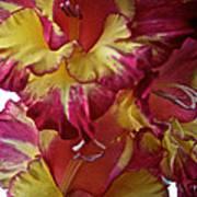 Vibrant Gladiolus Poster by Susan Herber