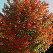 Vibrant Sugar Maple Poster