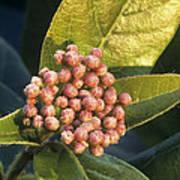 Viburnum Tinus Flower Buds Poster