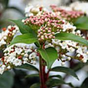Viburnum Tinus Spring Bouquet Poster