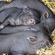 Vietnamese Pot-bellied Piglets Poster