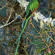View Of A Male Resplendent Quetzal Poster