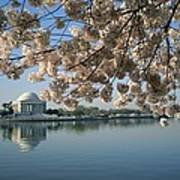 View Of Cherry Blossoms Poster