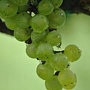 Vineyard Grapes I Poster