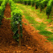 Vineyard In Burgundy France Poster