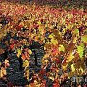 Vineyards At Fall Poster