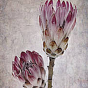 Vintage Proteas Poster