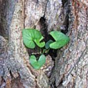 Violet And Oak Poster