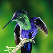 Violet-crowned Woodnymph Thalurania Poster