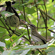 Vireo And Cowbird Poster