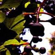 Virginia Creeper Fruit Poster