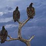 Vultures Perched On A Branch No.0022 Poster