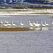 Wading Swans Poster