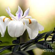 Walking Iris Flower Poster