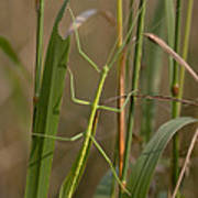 Walking Stick Insect Poster