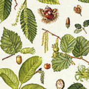 Walnut And Other Nut-bearing Trees Poster